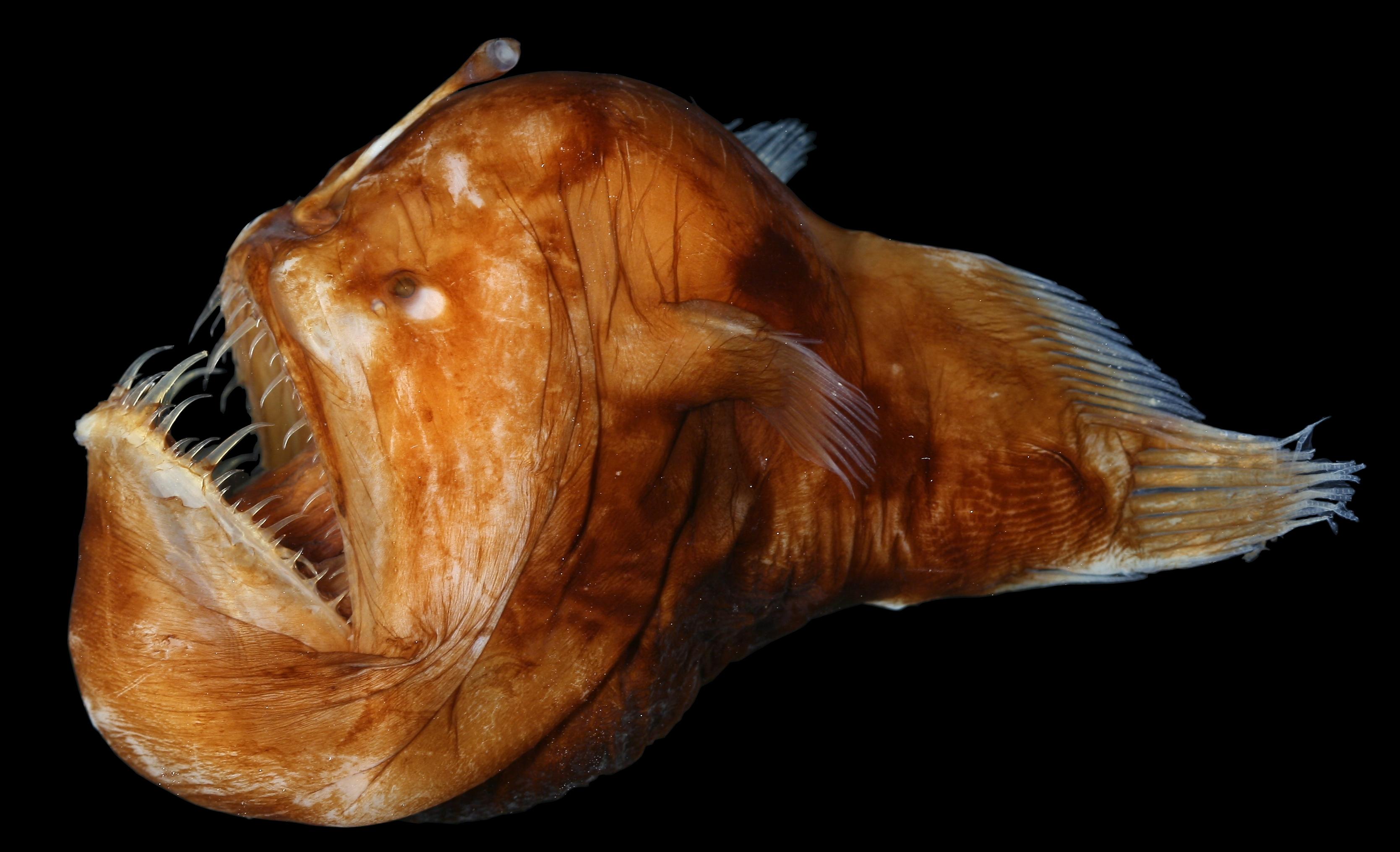Melanocetus johnsonii blackdevil specimen photo sio for Angler fish mating
