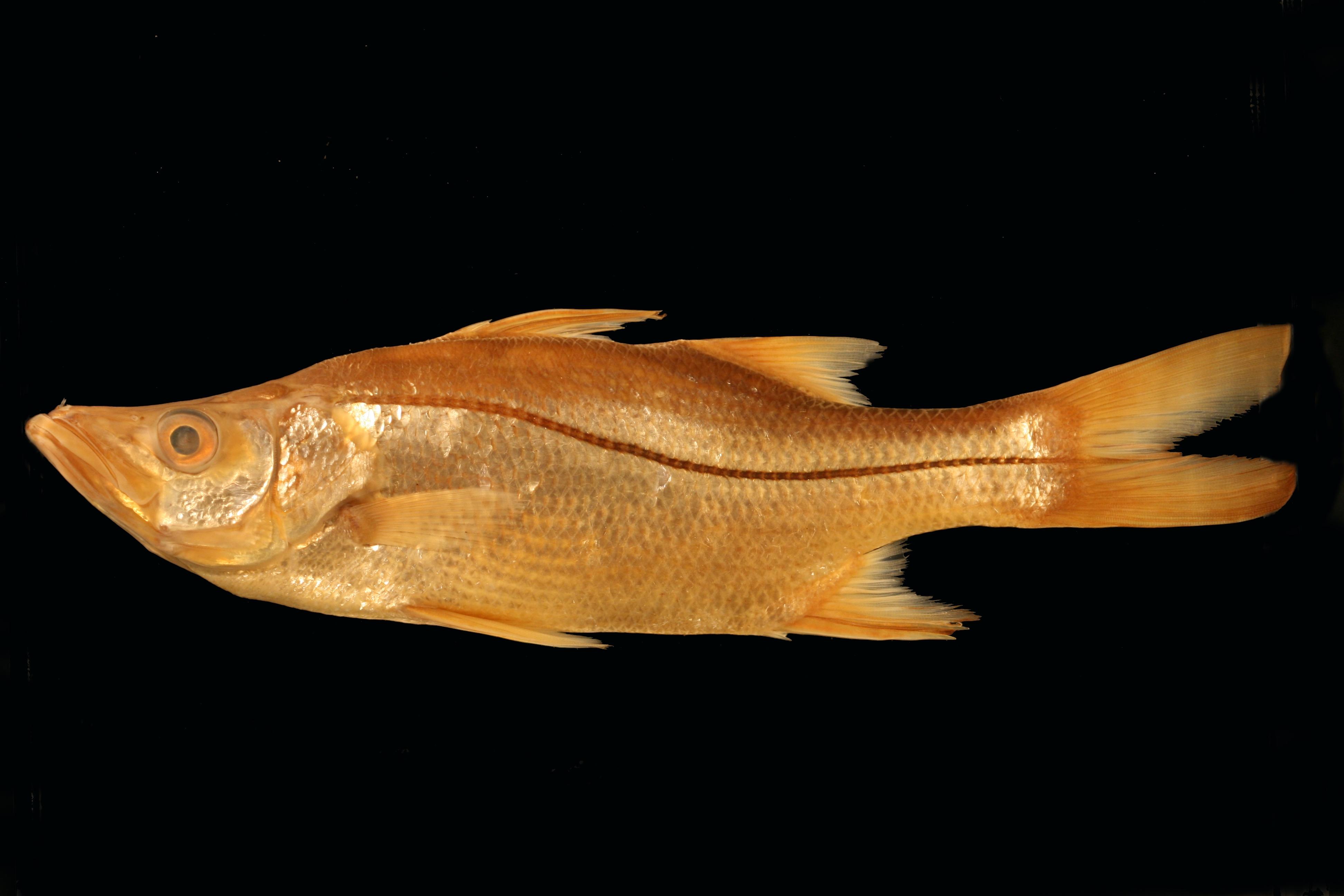 a4a0923056e Centropomus medius (Blackfin Snook)   Specimen Photo  SIO 64-899