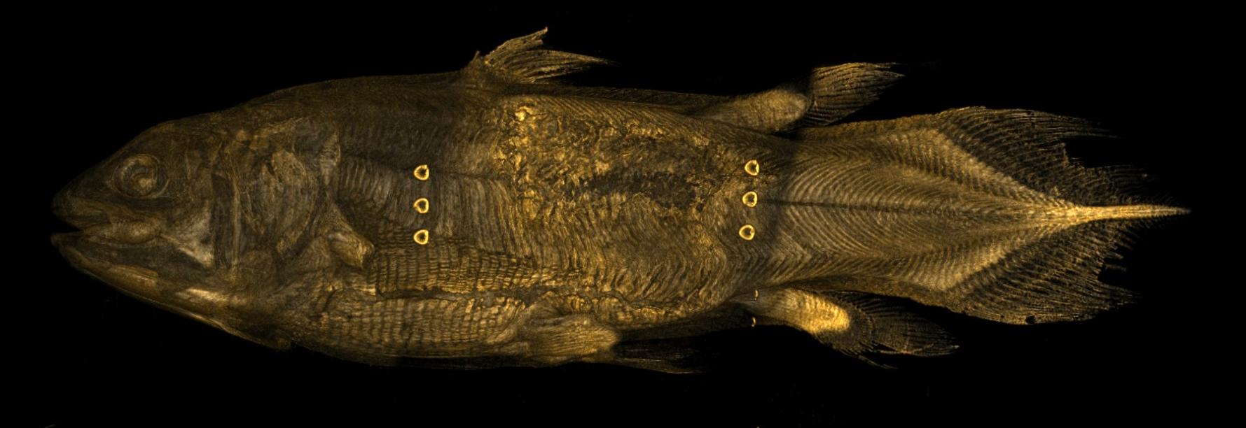 Latimeria chalumnae (Coelacanth) : 3D Volume Render Fish