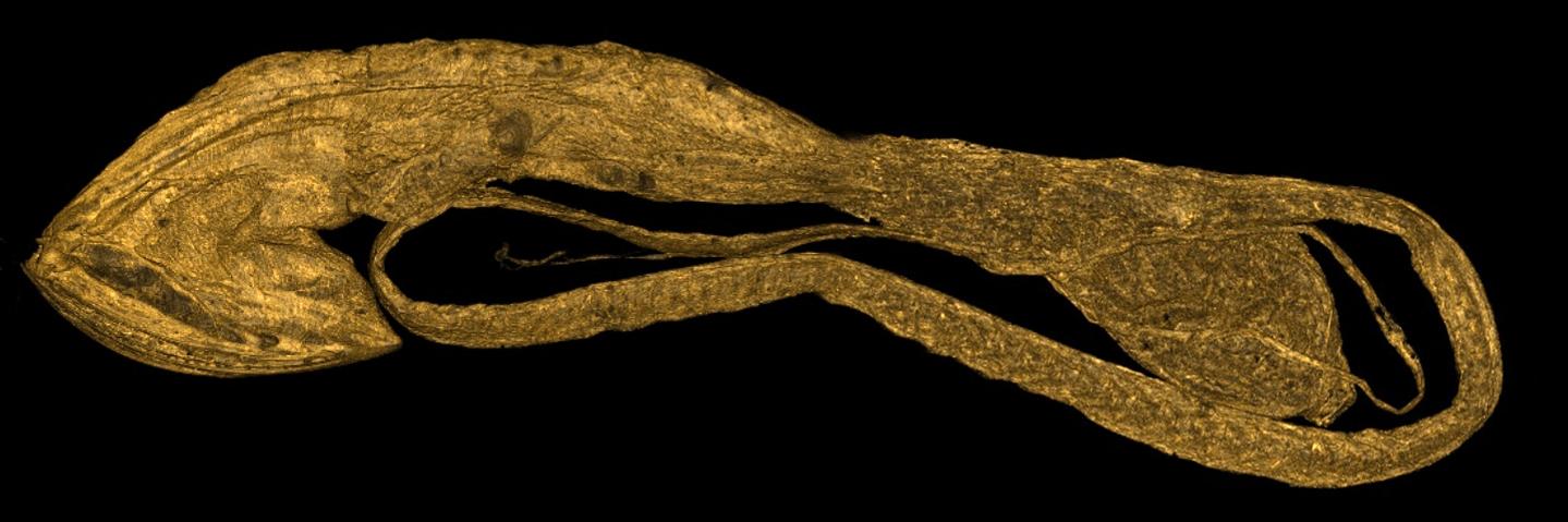 Saccopharynx lavenbergi (Whiptail Gulper) : 3D Volume Render